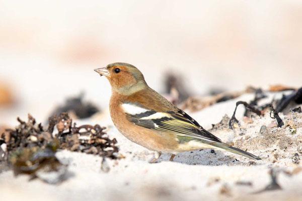 Buchfink (Fringilla coelebs) - Common chaffinch - 9