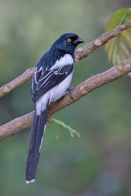 Elstertangare (Cissopis leveriana) - Magpie Tanager - 6