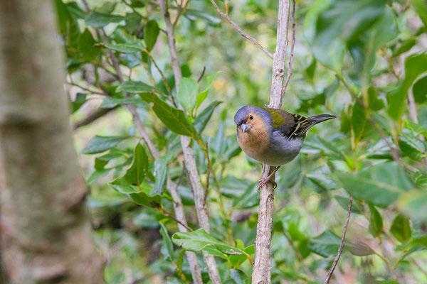 Männlicher Madeira-Buchfink (Fringilla coelebs maderensis) - Madeiran chaffinch - 6