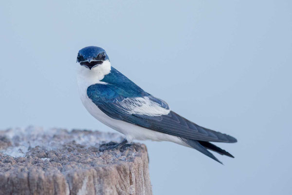 Cayenneschwalbe, Tachycineta albiventer, White-winged Swallow - 2