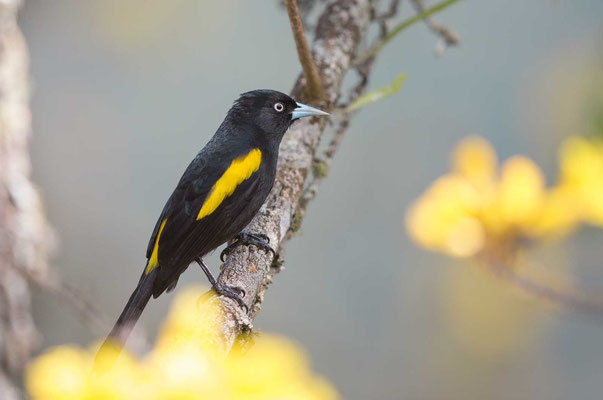 Goldschulterkassike (Cacicus chrysopterus) - Golden-winged Cacique - 1