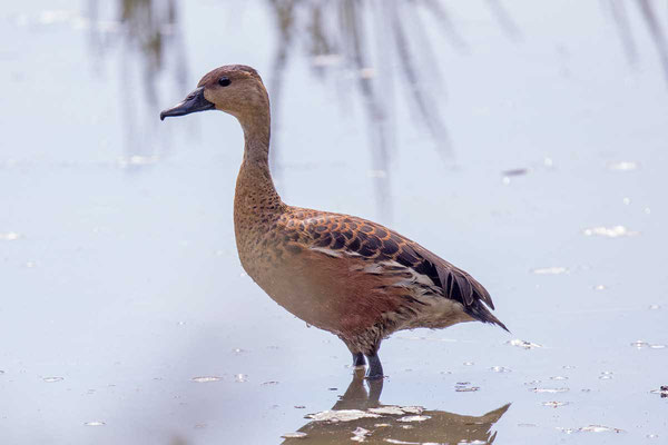 Wandering whistling duck - 3