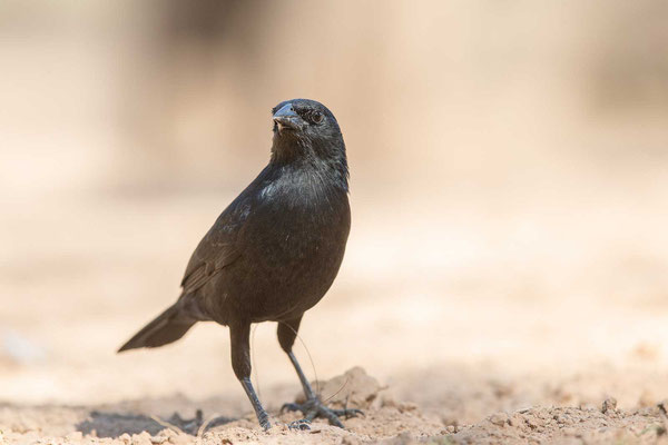 Chopistärling (Gnorimopsar chopi) - Chopi Blackbird - 3