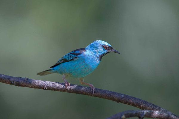 Pitpit (Dacnis cayana) - Blue Dacnis - 5
