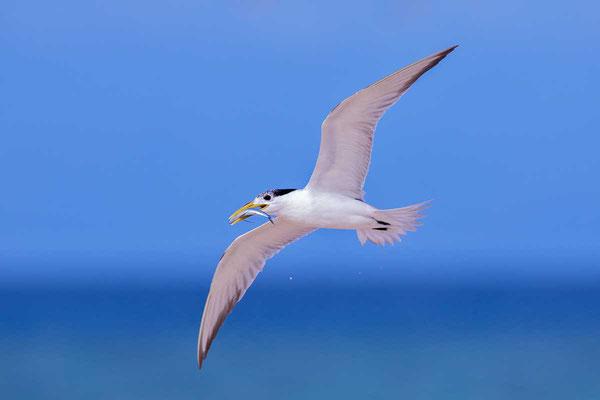 Eilseeschwalbe (Thalasseus bergii) - Greater crested tern - 1