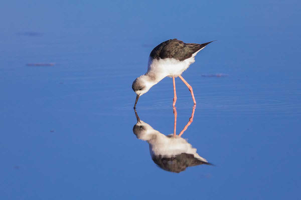 Weißgesicht-Stelzenläufer, white-headed stilt, Himantopus leucocephalus - 6