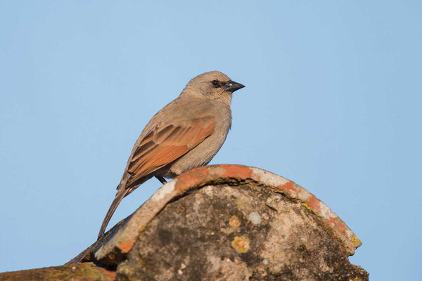 Graukuhstärling (Agelaioides badius) - Greyish Baywing - 2
