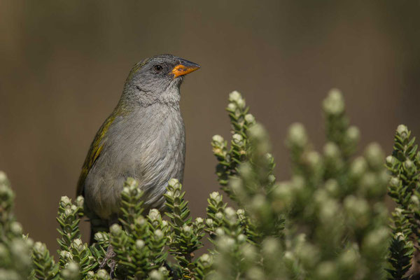 Pampaammer (Embernagra platensis)-Pampa Finch - 1