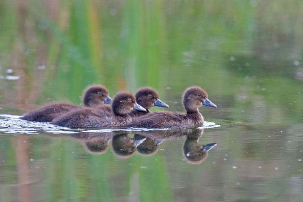 Reiherente,  Aythya fuligula, Tufted Duck - 10