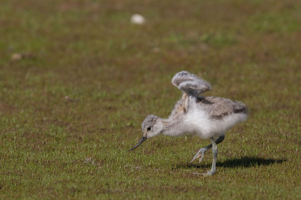 Säbelschnäbler (Recurvirostra avosetta) - 14
