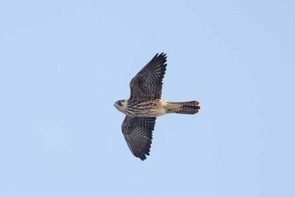 Eleonorenfalke (Falco eleonorae) - Eleonora's falcon - 5