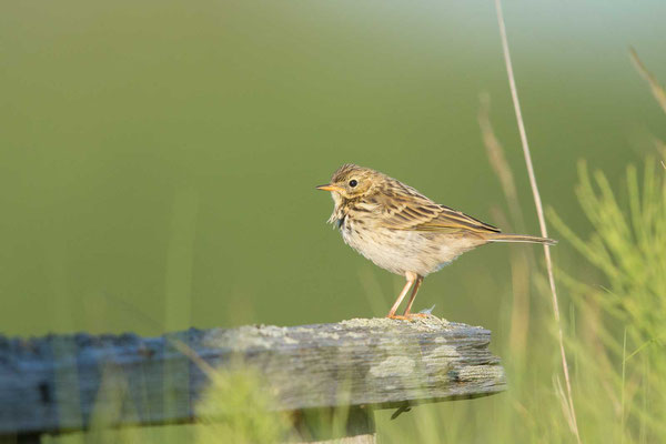 Wiesenpieper (Anthus pratensis) - Meadow Pipit - 4