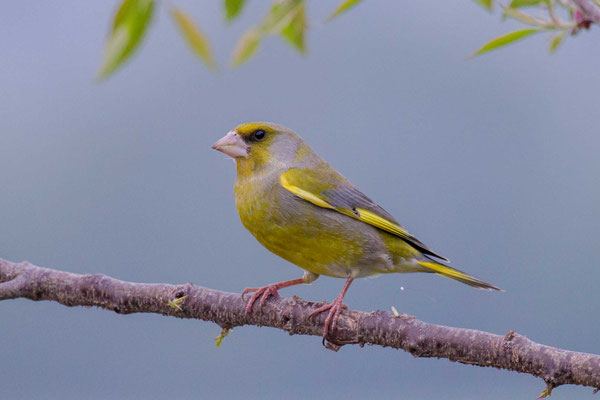 Grünfink (Carduelis chloris) - European greenfinch - 5