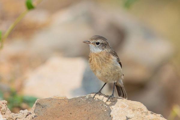 Jungvogel des Kanarenschmätzer (Saxicola dacotiae) im botanischen Garten der Insel Fuerteventura.