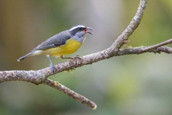 Zuckervogel (Coereba flaveola) - Bananaquit - 2