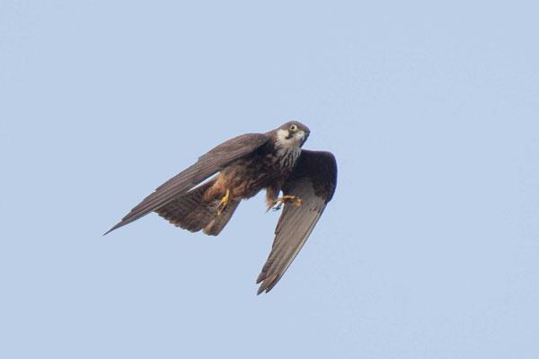 Flugbild eines jungen Eleonorenfalkes. nach der Beuteübergabe im Flug.