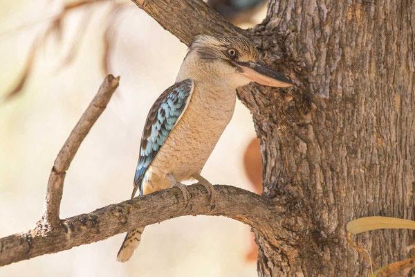 Haubenliest (Dacelo leachii) - Blue-winged Kookaburra - 2