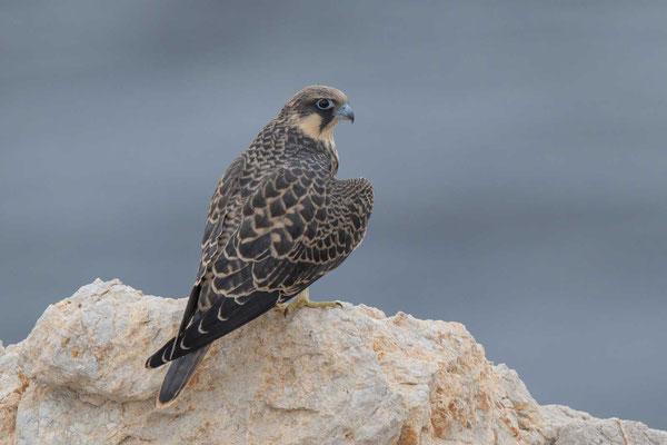 Junger Eleonorenfalke auf Sa Dragonera, einer kleinen Insel südwestlich vor Mallorca.