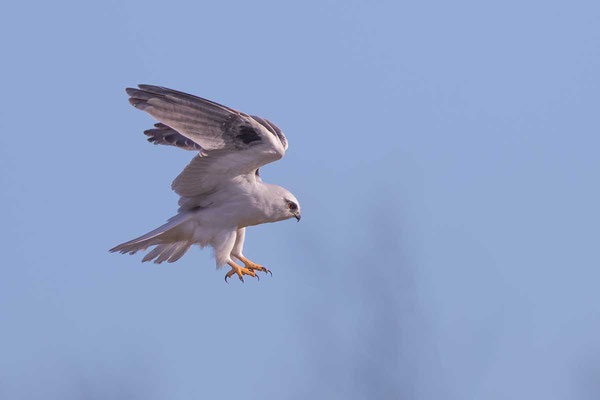 Australischer Gleitaar, Black-shouldered Kite, Elanus axillaris - 7