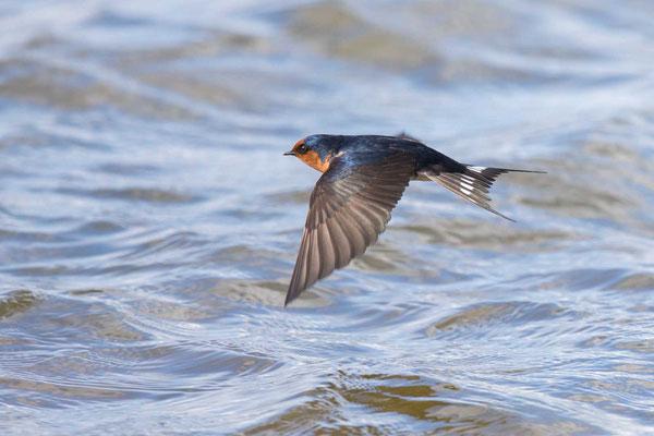 Glücksschwalbe,  Hirundo neoxena, Welcome Swallow - 5