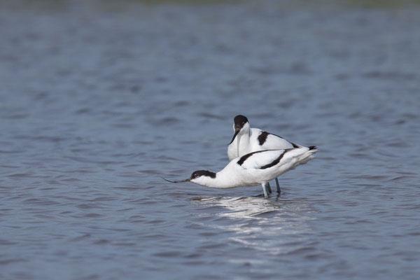 Säbelschnäbler (Recurvirostra avosetta) - 8