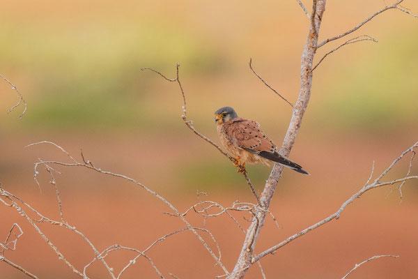 Männlicher Turmfalke (Falco tinnunculus dacotiae) der ostkanarischen Unterart.