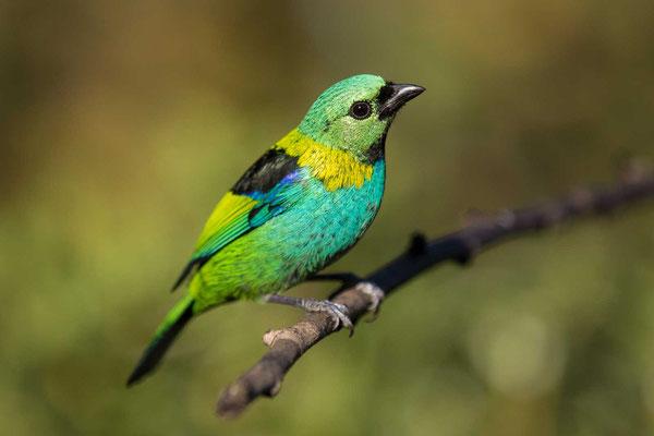 Dreifarbentangare (Tangara seledon) - Green-headed Tanager - 1