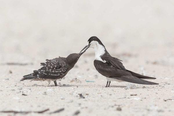 Rußseeschwalbe (Onychoprion fuscatus) - Sooty tern - 10