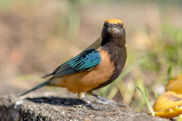 Isabelltangare (Tangara cayana) - Burnished-buff tanager - 5