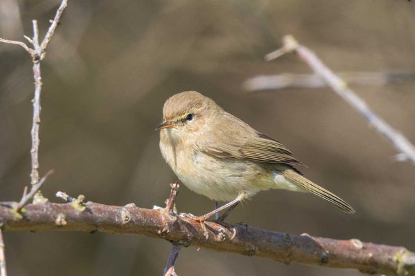 Fitis (Phylloscopus trochilus) - Willow Warbler - 5