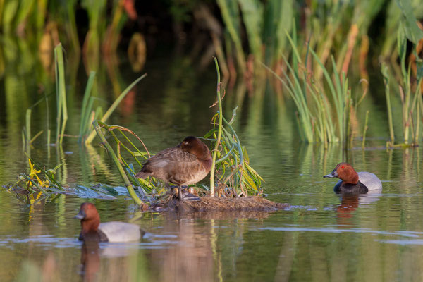 Tafelente, Common Pochard, Aythya ferina - 1