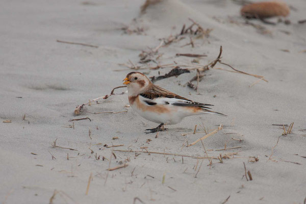 Schneeammer (Plectrophenax nivalis) - Snow Bunting - 1