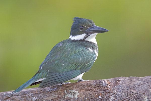 Grünfischer (Chloroceryle americana) - Green kingfisher - 7