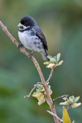Schmuckpfäffchen (Sporophila caerulescens) - Double-collared Seedeater - 6