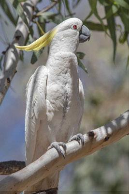 Gelbhaubenkakadu, Sulphur-crested cockatoo, Cacatua galerita - 3