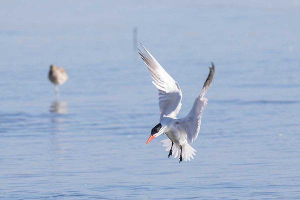 Raubseeschwalbe (Hydroprogne caspia) - Caspian tern - 3