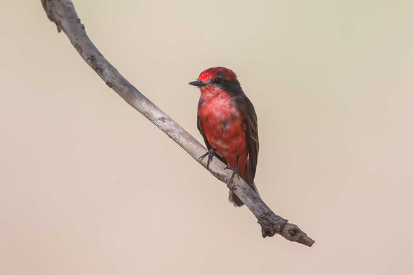 Rubintyrann (Pyrocephalus rubinus); Vermilion Flycatcher - 4