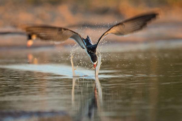 Schwarzmantel-Scherenschnabel (Rynchops niger) - 15