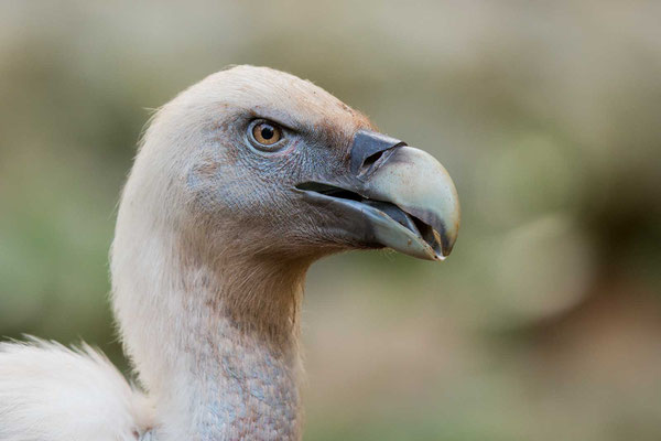 Gänsegeier (Gyps fulvus) - Griffon Vulture - 8