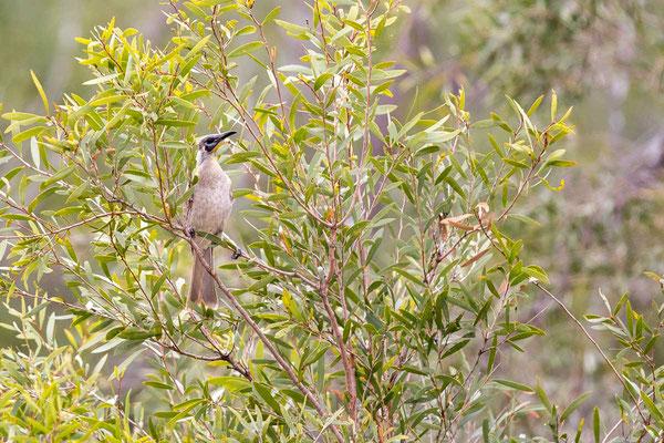 Glattstirn-Lederkopf, Little Friarbird, Philemon citreogularis - 2