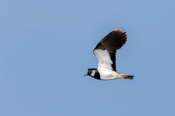 Kiebitz (Vanellus vanellus) - 9