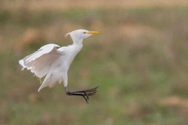 Kuhreiher (Bubulcus ibis) -  5