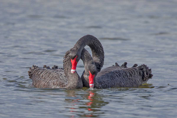 Trauerschwan (Cygnus atratus) - Black swan - 10