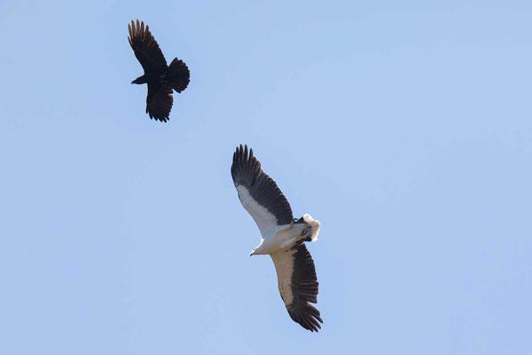 Weißbauch-Seeadler, White-bellied Sea-eagle, Haliaeetus leucogaster - 3