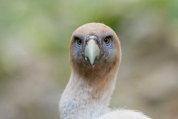 Gänsegeier (Gyps fulvus) - Griffon Vulture - 6