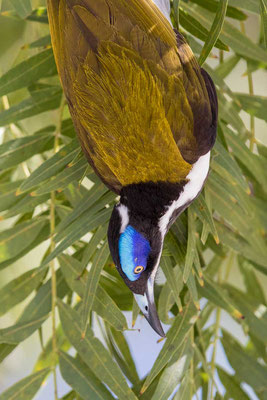 Blauohr-Honigfresser, Blue-faced Honeyeater, Entomyzon cyanotis - 5
