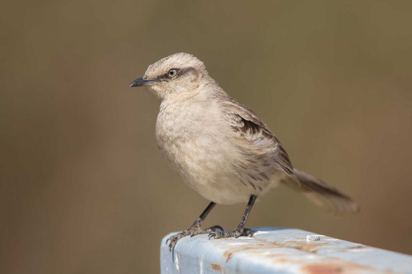 Camposspottdrossel (Mimus saturninus) - Chalk-browed Mockingbird - 3
