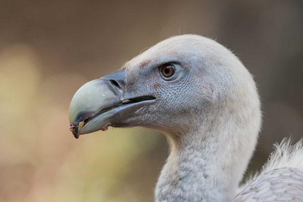Gänsegeier (Gyps fulvus) - Griffon Vulture - 10