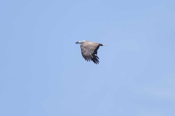 Weißbauch-Seeadler, White-bellied Sea-eagle, Haliaeetus leucogaster - 2