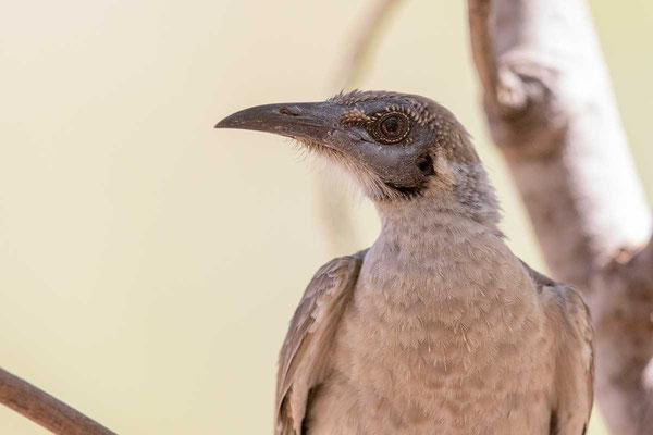 Glattstirn-Lederkopf, Little Friarbird, Philemon citreogularis - 1